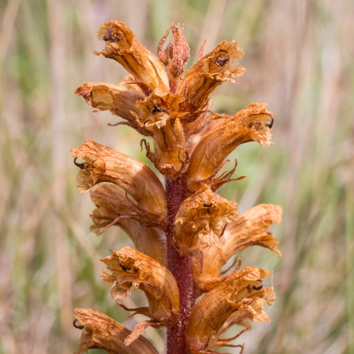Broomrape, a parasitic plant that lacks chlorophyl, Sandwich & Pegwell bay Nature Reserve.