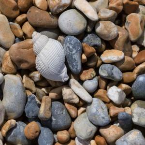 Common whelk shell on shingle, Sandwich Bay.