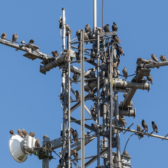 Flock of starlings on a telecoms mast, Beachy Head, Sussex.
