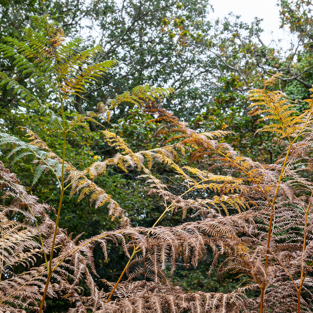 Turning Bracken, New Forest, Hampshire.