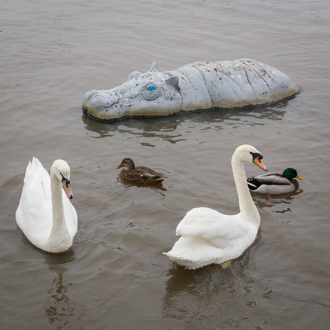 Hippo & Swans, the Quomps at Christchurch Quay, Dorset.