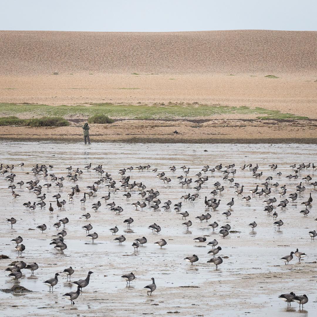 Birdwatcher & flock of Dark-bellied Brent Geese, Chisel Beach, Dorset.