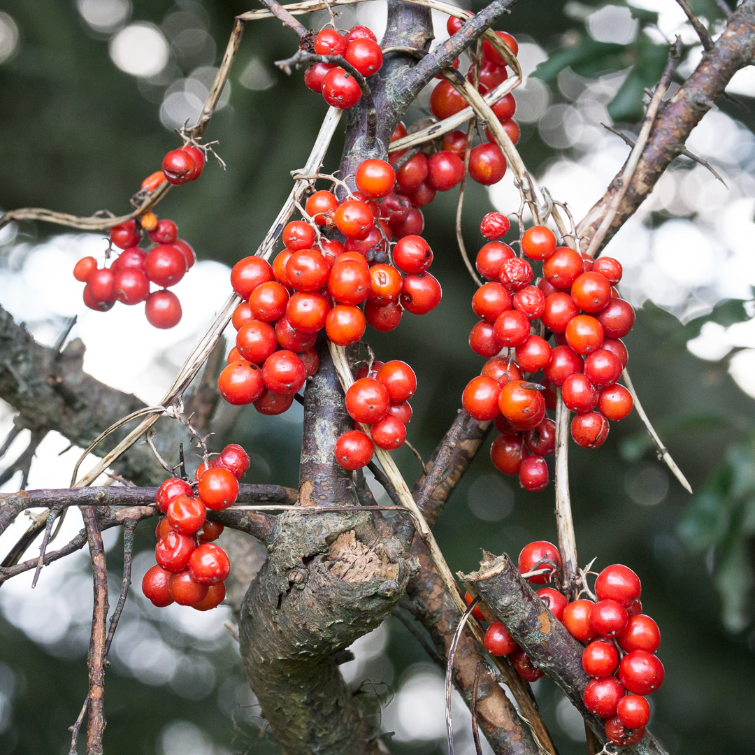 Black Bryony berries, Mixen Plantation, Dorset.