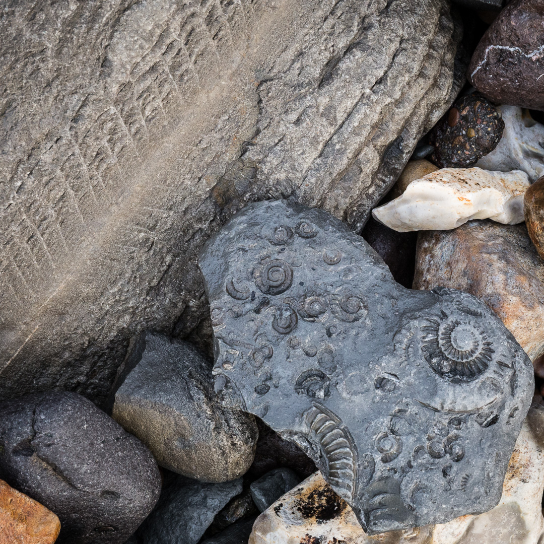 Ammonite and fern? fossils on the beach near Lyme Regis, Dorset.