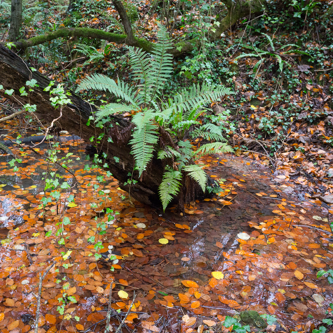 Fern pool, Lyme Regis Undercliffs, Devon.