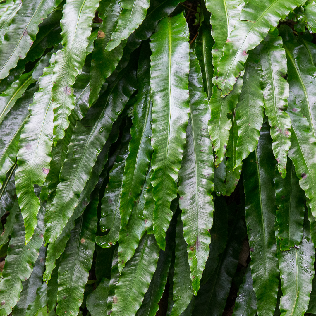 Hart's tongue fern I, Lyme Regis Undercliffs, Devon.