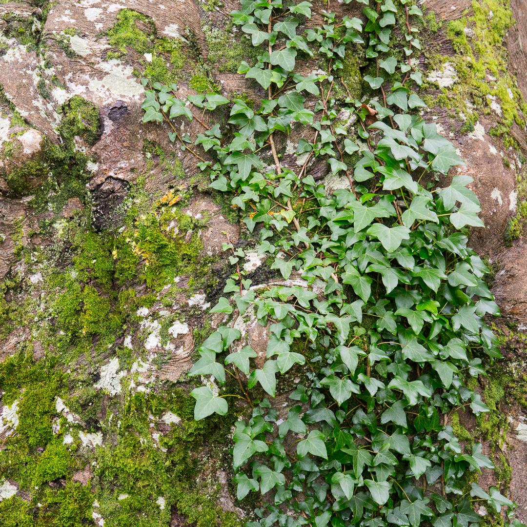 Ivy trunk, Lyme Regis Undercliffs, Devon.