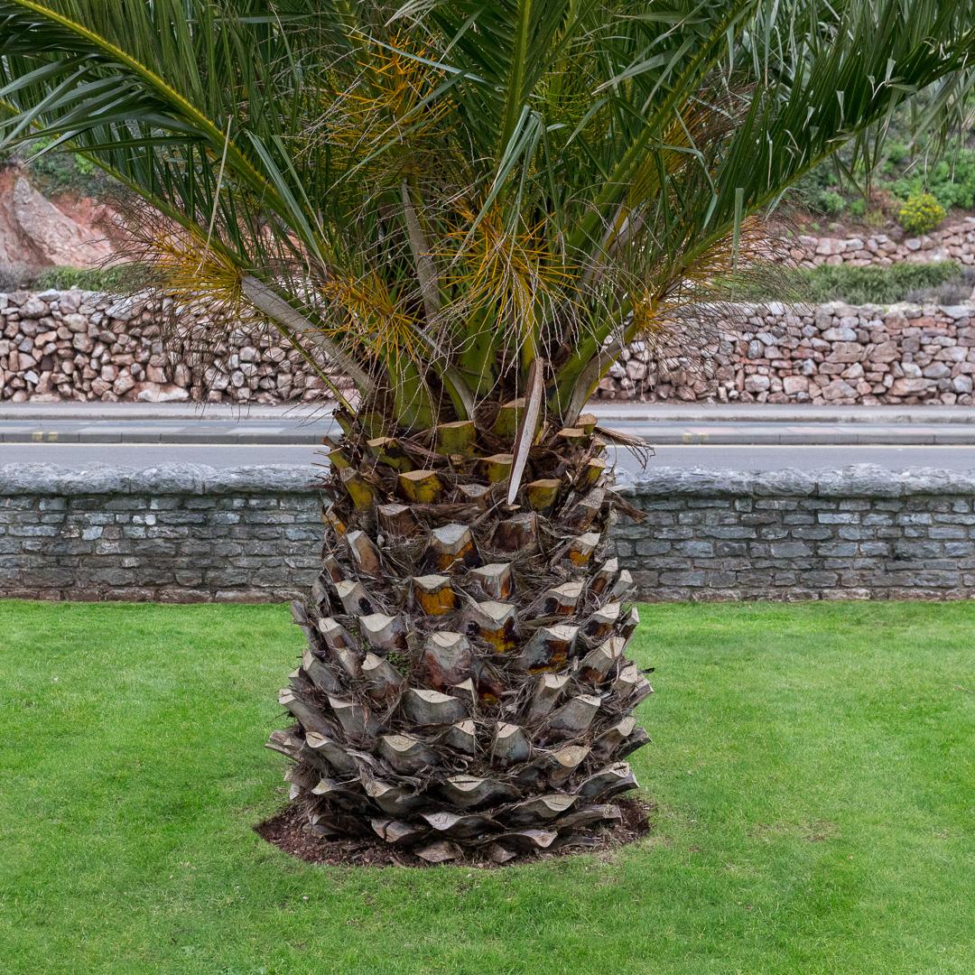 Date Palm, Torquay.