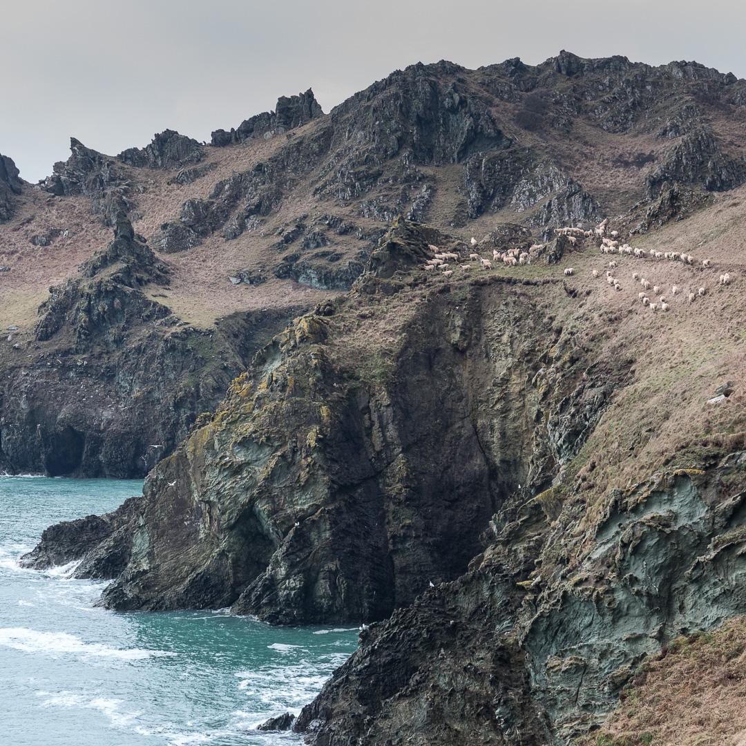 Flock of Sheep, Gammon Head, Devon.