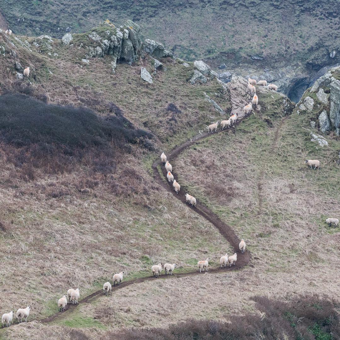 Procession of sheep, Gammon Head, Devon.