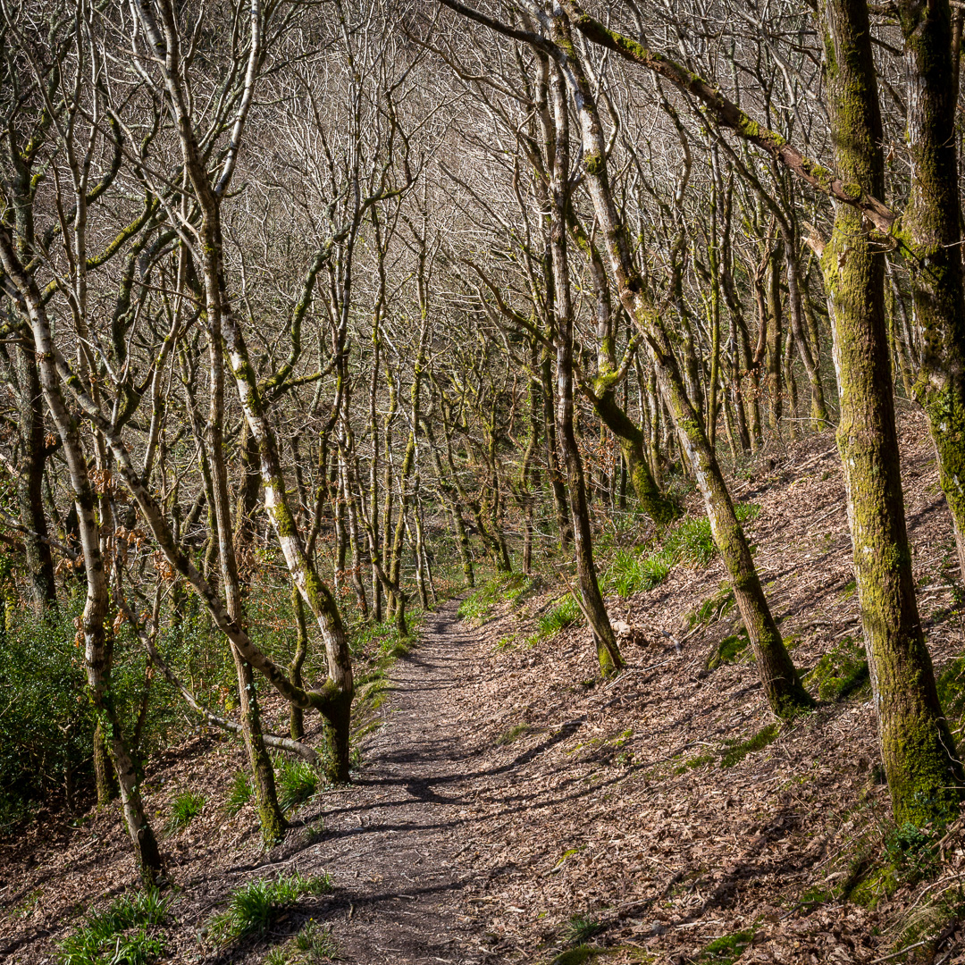 Milltown Wood, Cornwall.