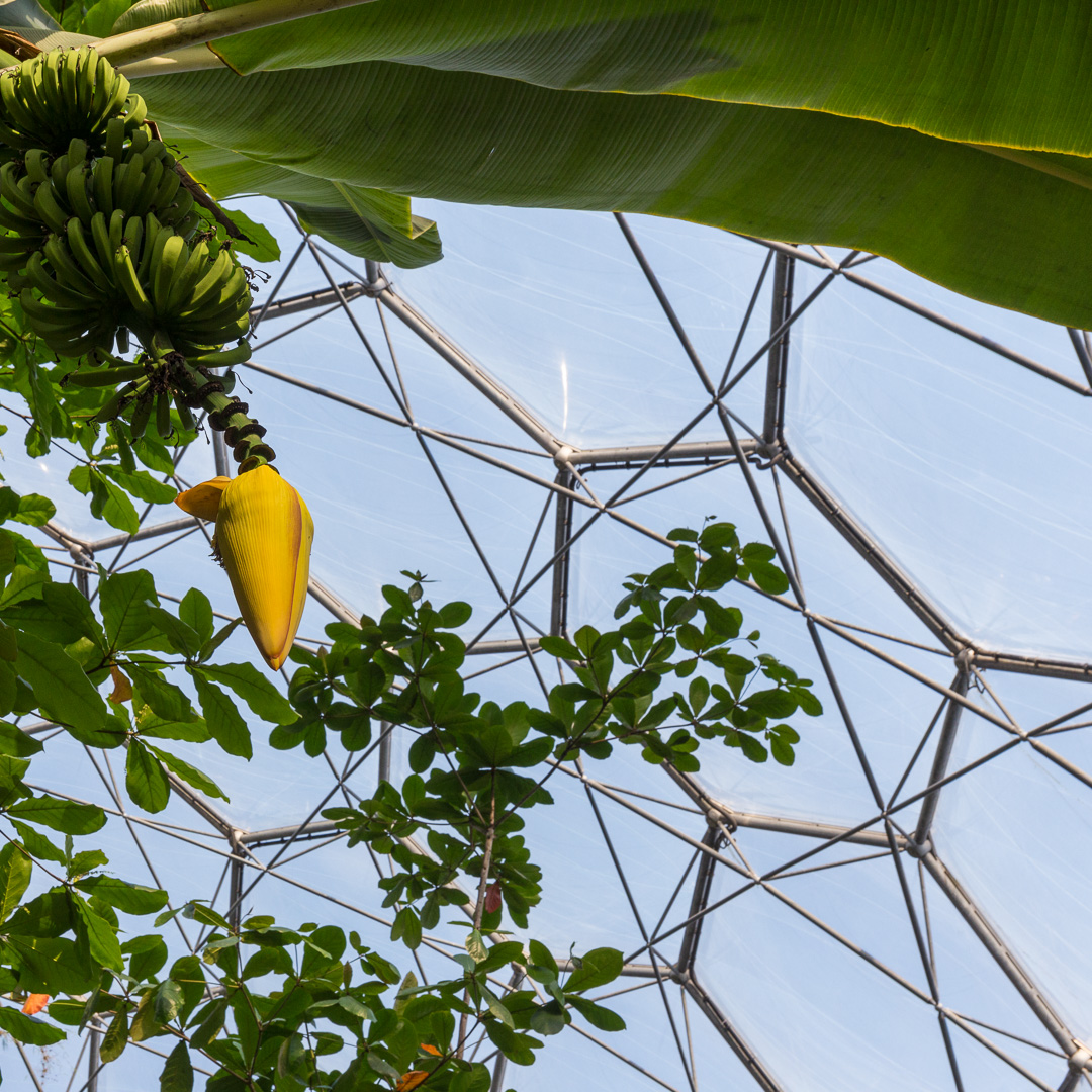 Banana Tree, Rainforest Biome, Eden Project, Cornwall.