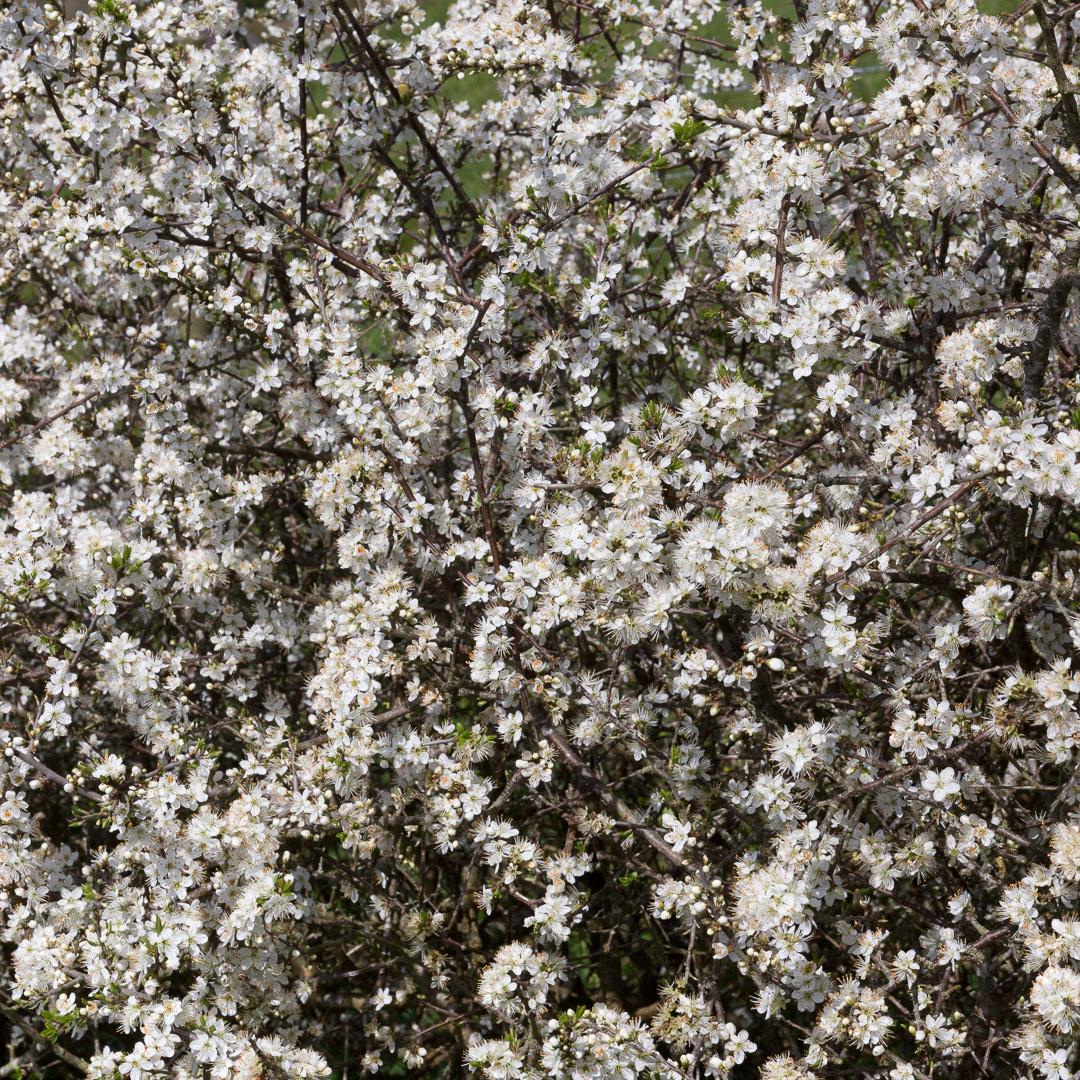 Hawthorn blossom, Drennick, Cornwall.