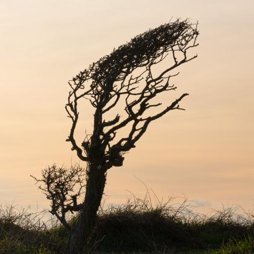 Wind blown Tree, Dodman Point, Cornwall.