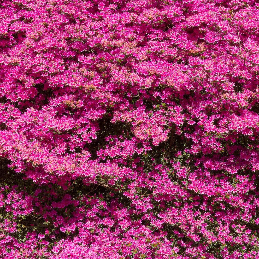 Rhododendron Obtusum, Trelissick Gardens, Cornwall.