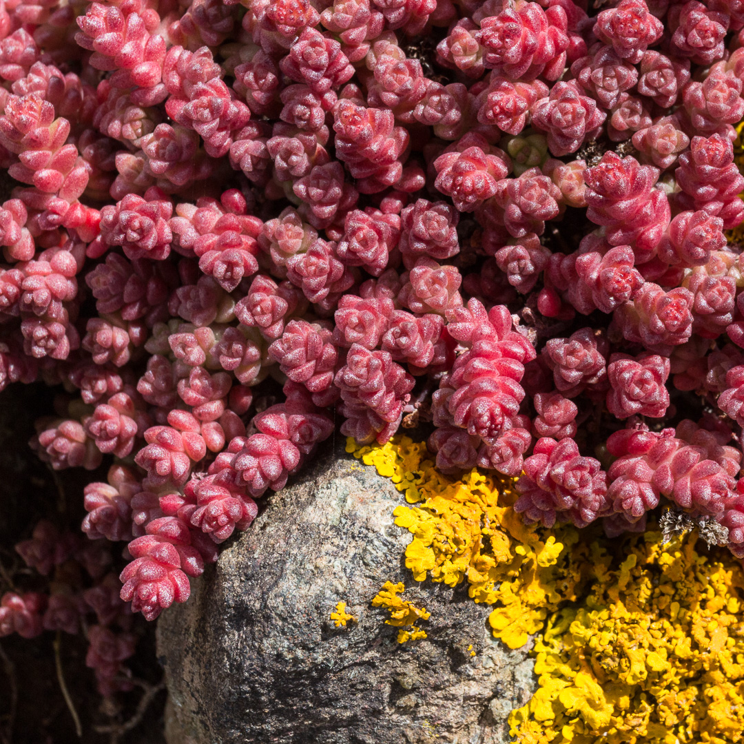 Red Sedum, Treleaver Cliff, Cornwall.