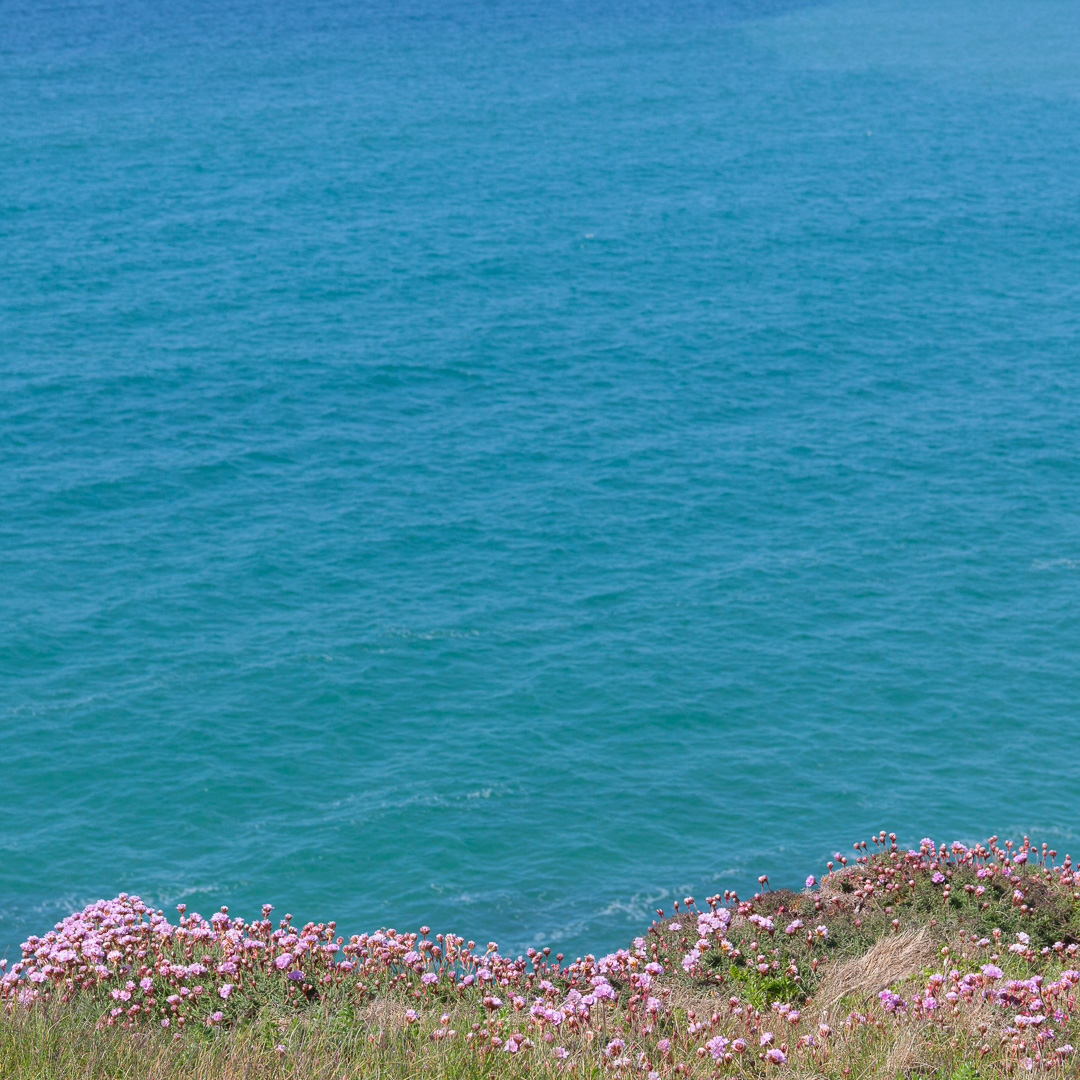 Sea Pinks, Poldu Cove, Cornwall.