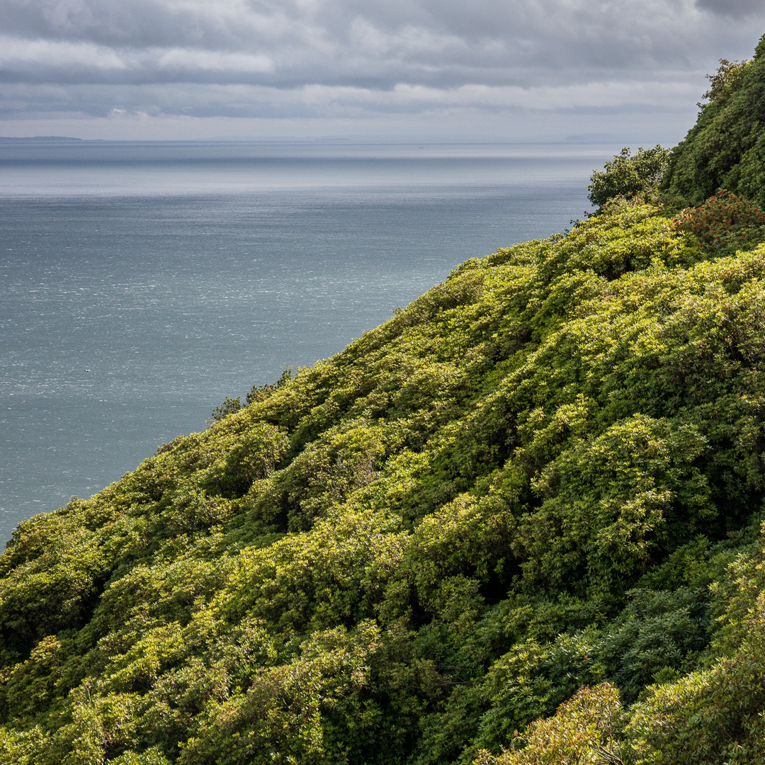 Rhododendrons by the Bristol Channel, Exmoor, Somerset.