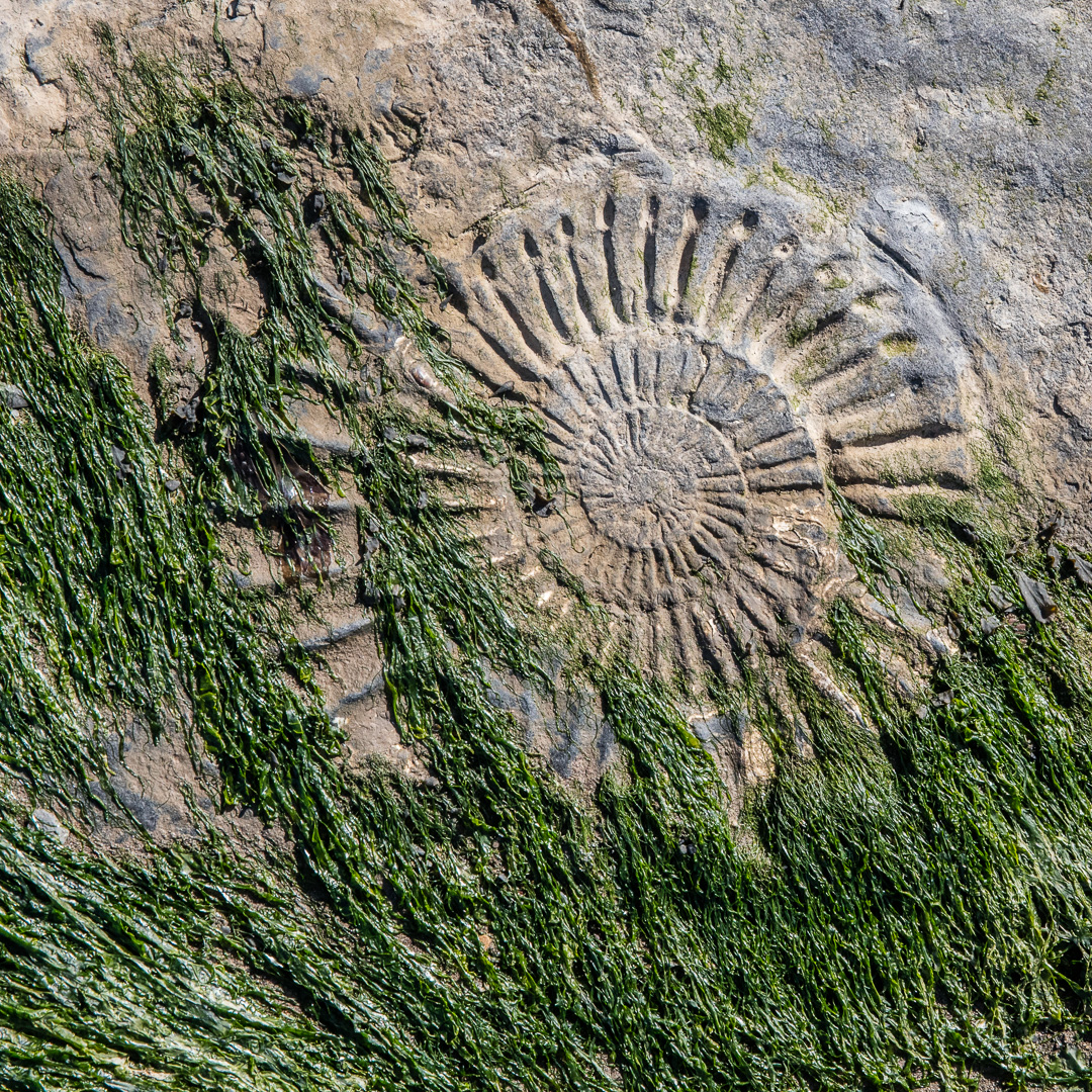 Ammonite I, Helwell Bay, Somerset.