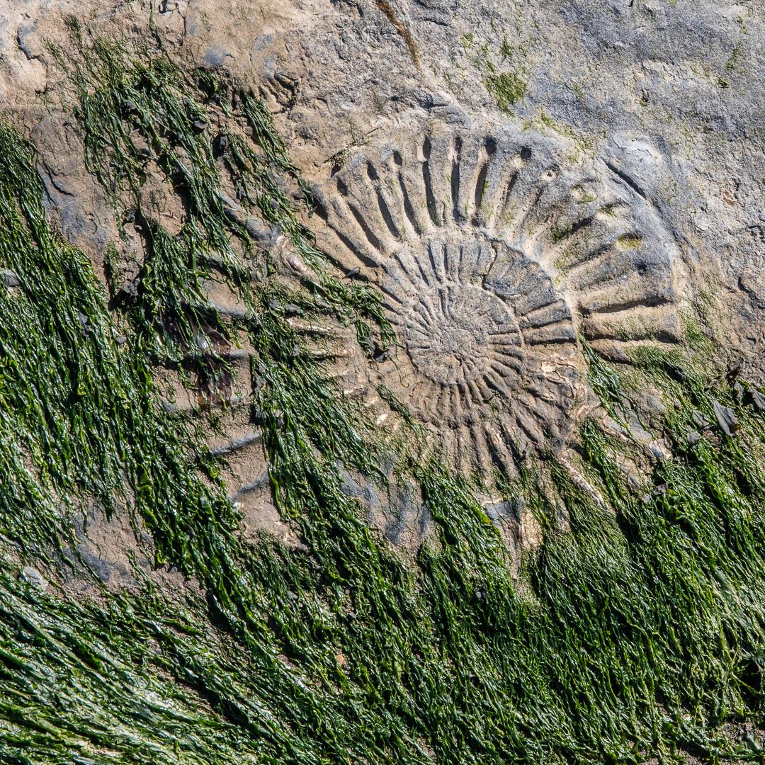 Ammonite I, Helwell Bay, Somerset.
