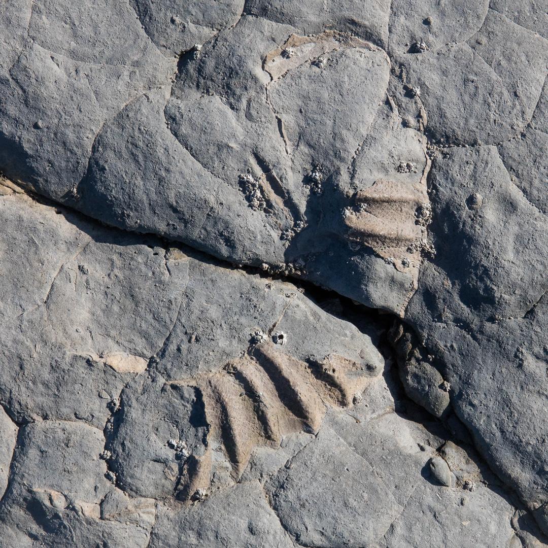 Ammonite III, Helwell Bay, Somerset.