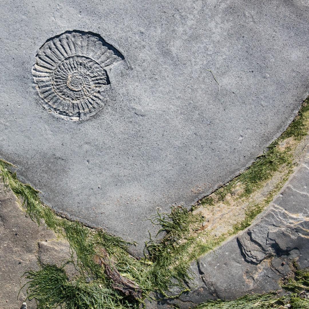 Ammonite IV, Helwell Bay, Somerset.