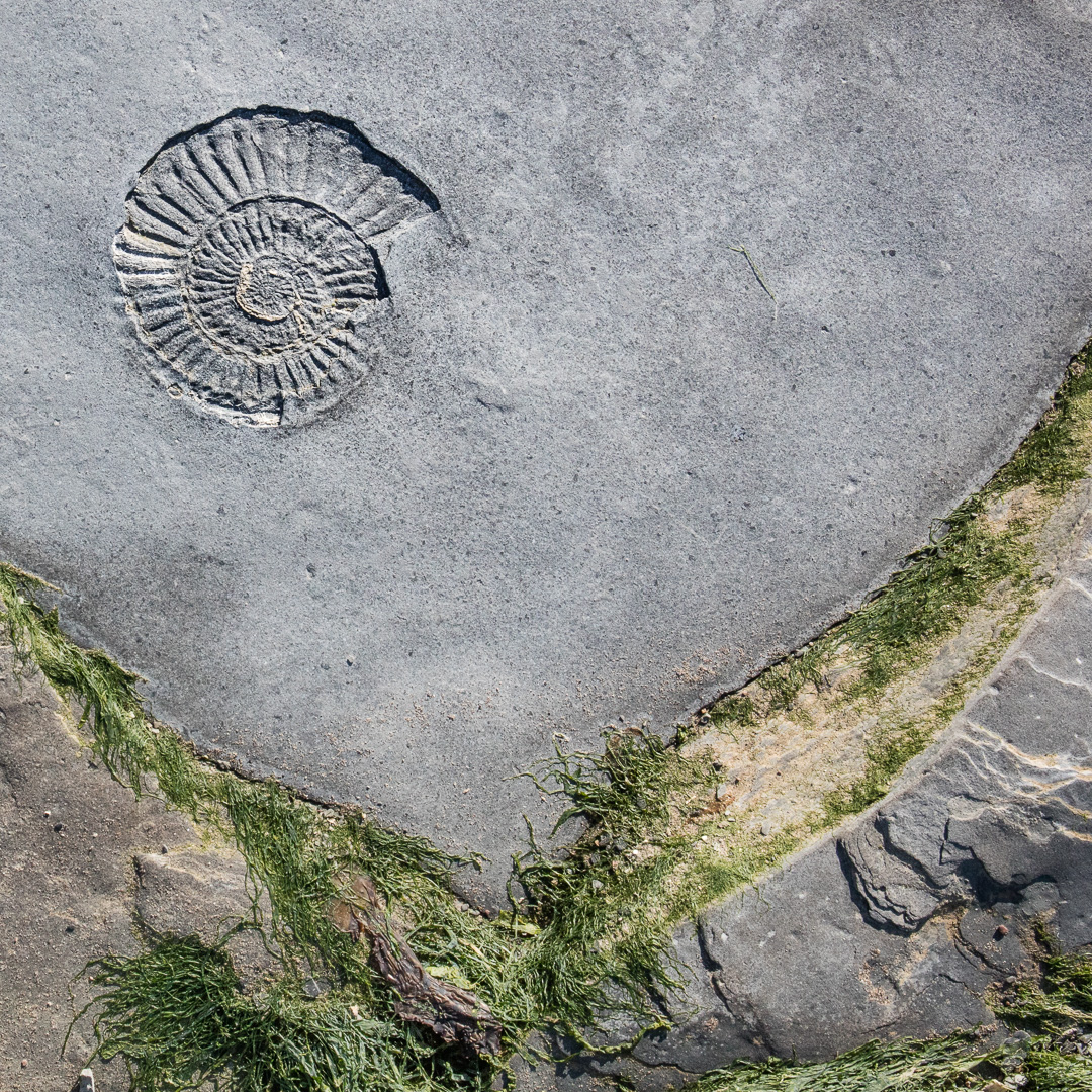 Ammonite IV, Helwell Bay, Somerset.