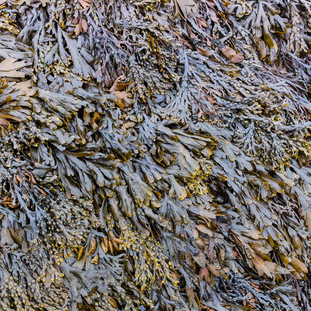 Seaweed, Gray Rock, Somerset.