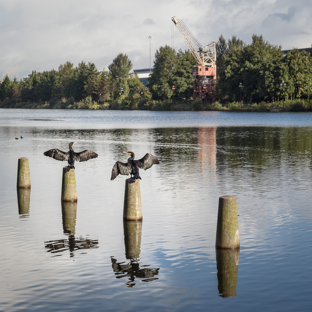 Crucifixion of the cormorants. Wing-drying after rain, Atlantic Wharf, Cardiff.