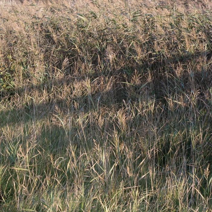 Reeds, Margam Moors, Glamorgan.