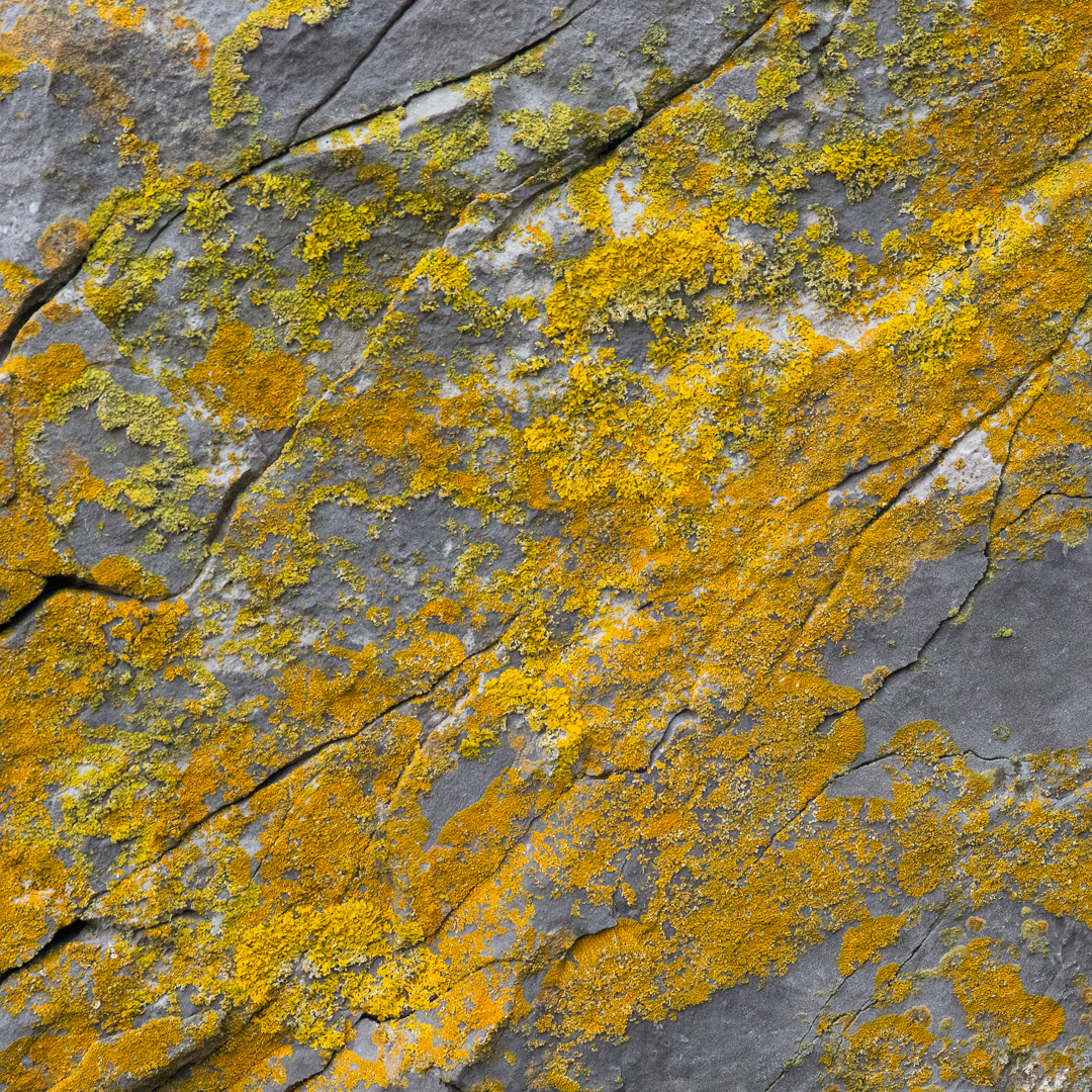 Lichen I, Culver Hole, Gower, Glamorgan.
