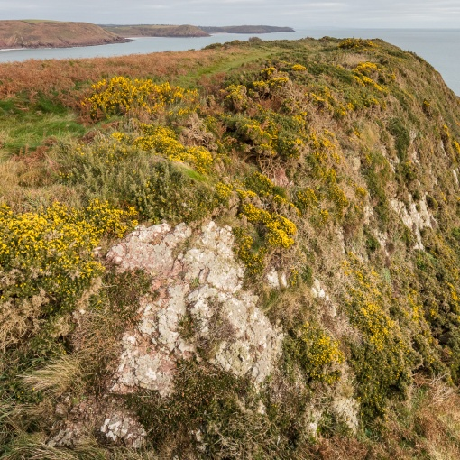 Gorse & Bracken, Trewent Point, Dyfed.