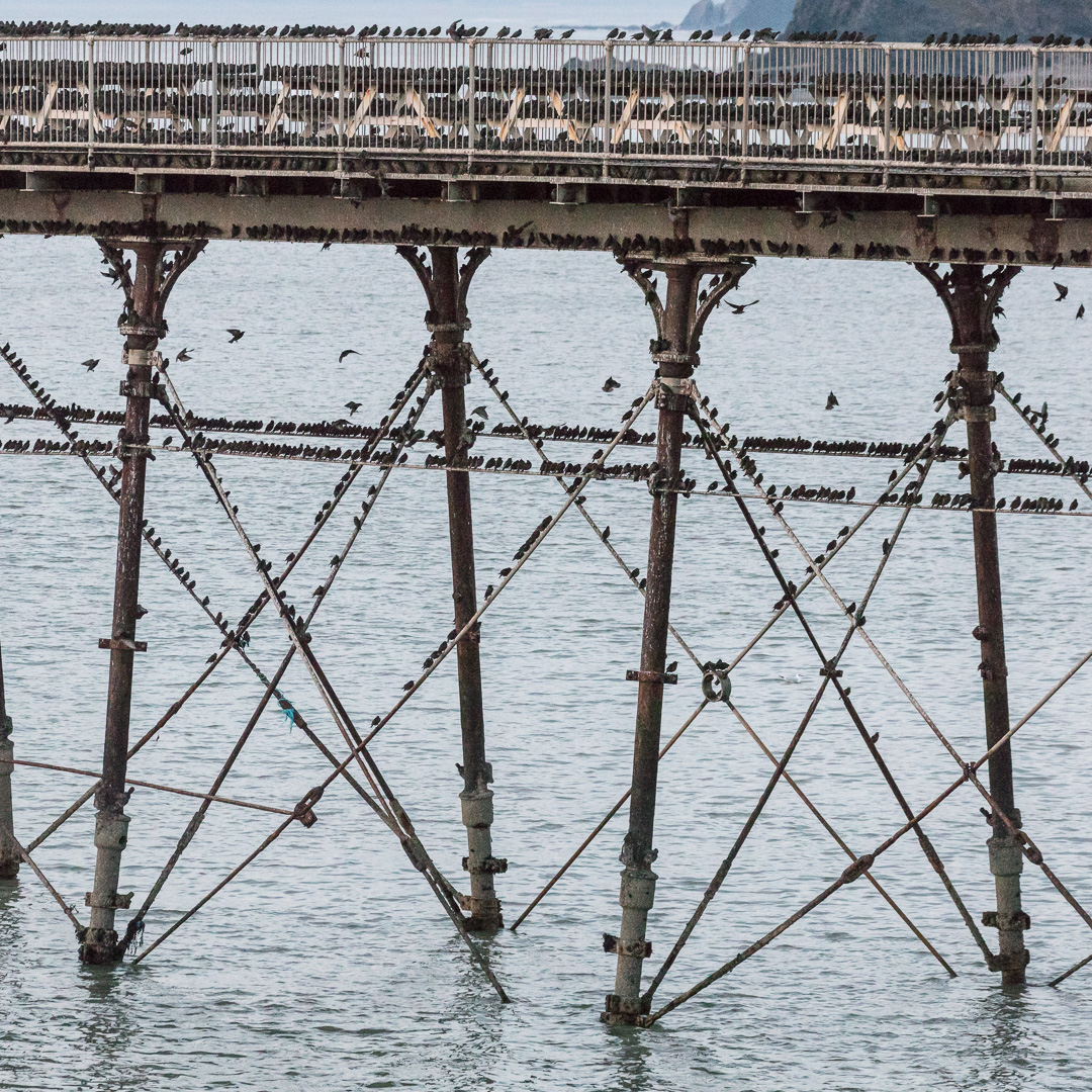 Murmuration of starlings roosting on Aberystwyth pier, Ceredigion.