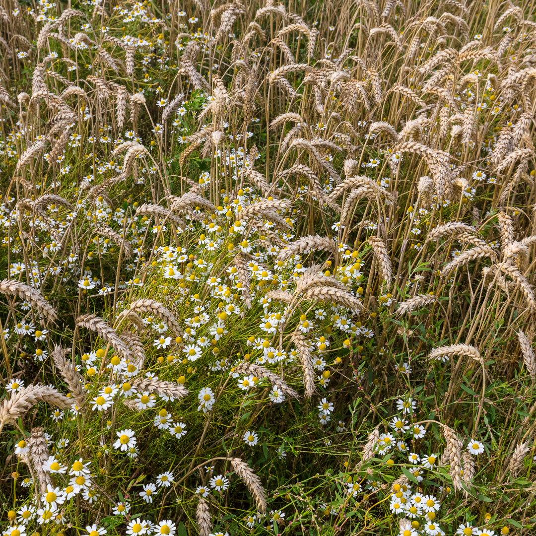 Corn Chamomile & Wheat, Hutton Marsh, Lancashire.
