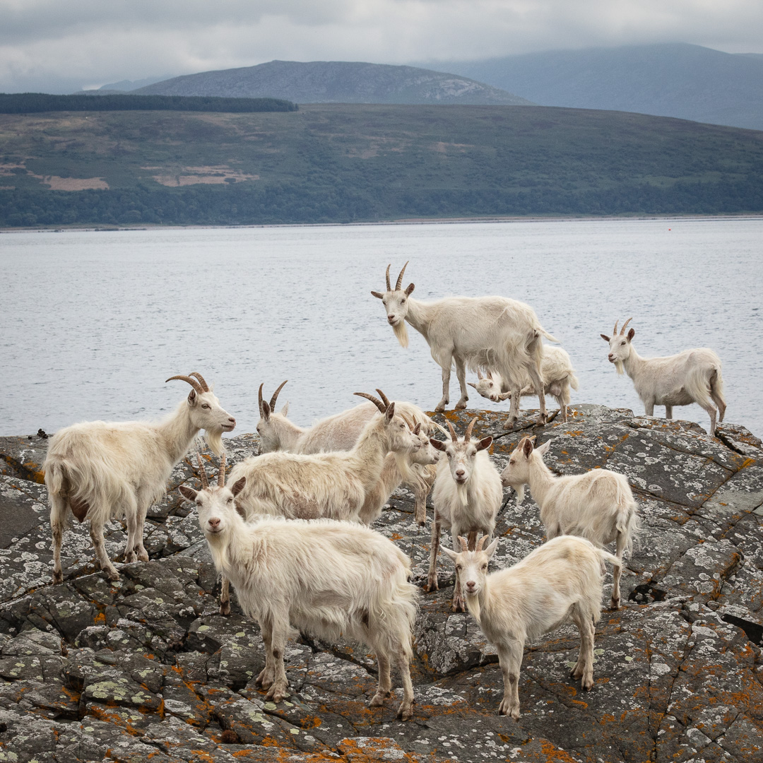 Day 224: Carradale to Campbeltown – Wild Goats!   The Perimeter